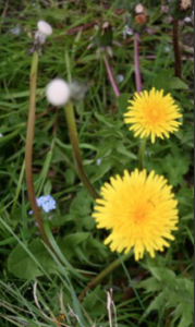 Dandelion - to cleanse your liver and toxins