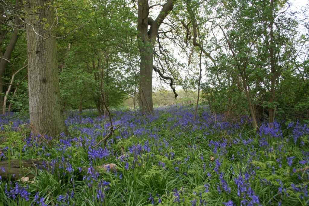 Ancient Bluebell Wood in Essex!